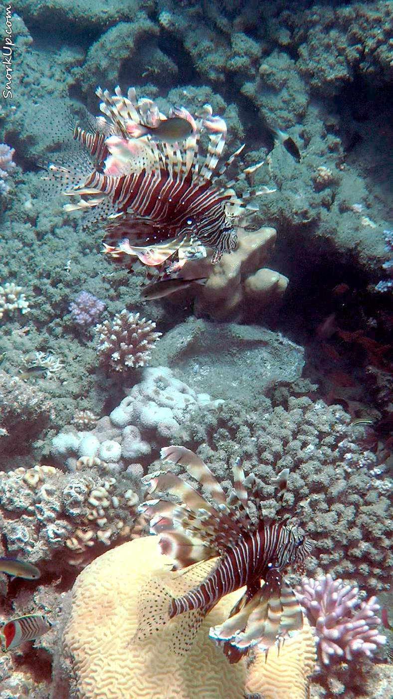 Коричневополосые крылатки-зебры (лат.Pterois miles, анг.Devil firefish)